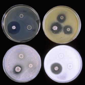 希少放線菌(抗生物質生産菌)の...