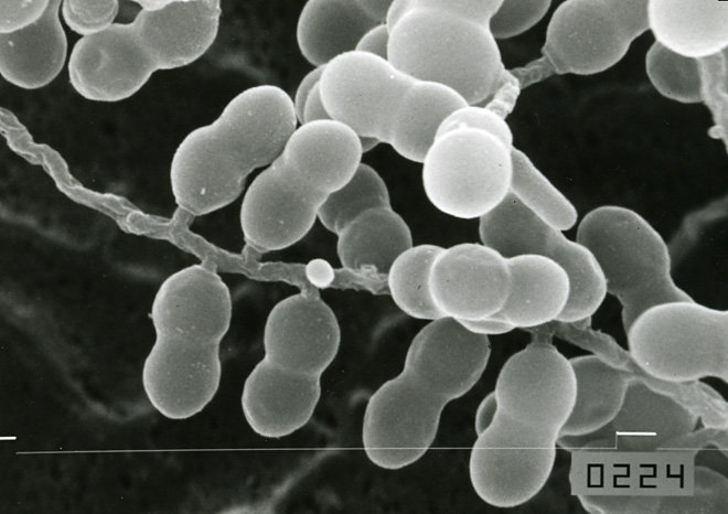 野々村先生が分離、記載した希少放線菌の新属Microbispora(ミ... 野々村英夫本学名誉